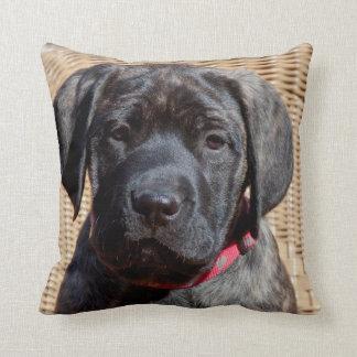 USA, California. Mastiff puppy looking at you. Cushion