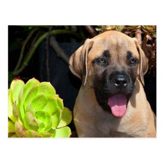USA, California. Mastiff Puppy Portrait Postcard