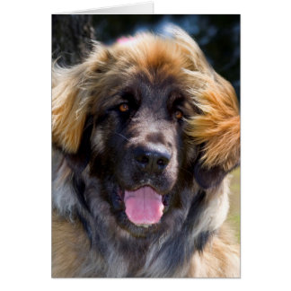 USA, California. Portrait Of Leonberger Sitting Card