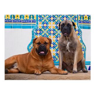 USA, California. Two Mastiffs Looking At You Postcard