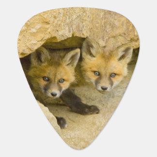 USA, Colorado, Breckenridge. Curious red fox Plectrum