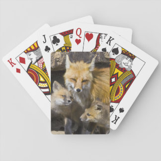 USA, Colorado, Breckenridge. Red fox mother 4 Poker Deck