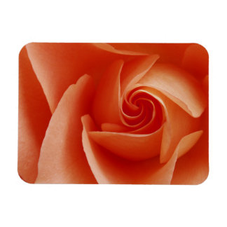 USA, Colorado, Lafayette. Peach rose close-up Magnet
