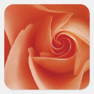 USA, Colorado, Lafayette. Peach rose close-up Square Sticker