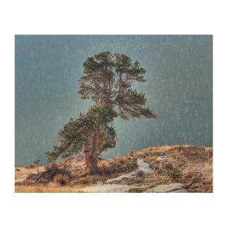 USA, Colorado, Tree In Estes Park Wood Canvases