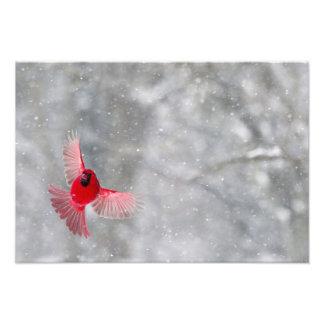 USA, Indiana, Indianapolis. A male cardinal Photographic Print