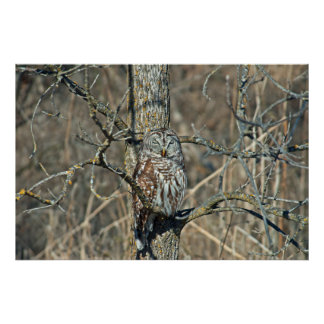 USA, Kansas. Barred Owl (Strix Varia) Poster