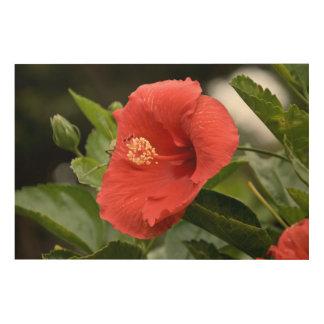USA, Kansas, Red Hibiscus Wood Print