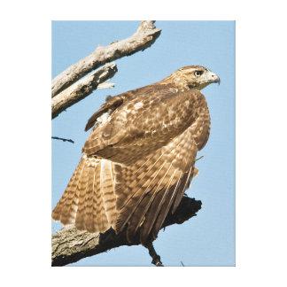 USA, Kansas, Red Tailed Hawk Preening In Tree Canvas Print