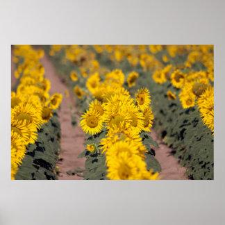 USA, Kansas. Sunflowers (Helianthus Annuus) Print