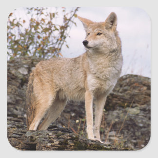USA, Montana, Kalispell. Coyote at Triple D Square Sticker