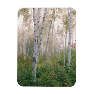USA, New Hampshire. Birch trees in clearing fog Magnet