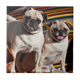 USA, New Mexico. Two Pugs Together Tile