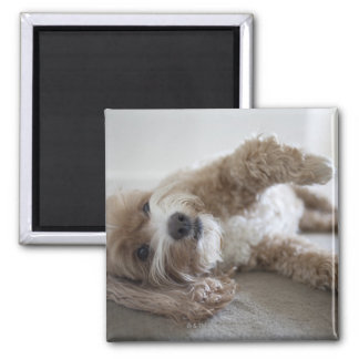USA, New York, New York City, Brooklyn, Cockapoo Magnet