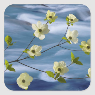 USA, Washington, Hood Canal. Pacific dogwood Square Sticker