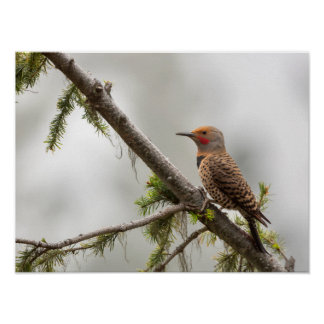 USA, Washington State. Male Northern Flicker 2 Posters