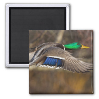 USA, Washington State, Mallard, male, flight. Magnet