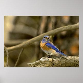 USA, Washington, Yakima. Male western bluebird Poster