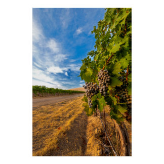 USA, Washington, Yakima Valley. Merlot Grapes Poster