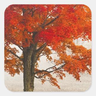 USA, West Virginia, Davis. Red maple in autumn Square Stickers