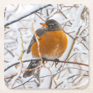 USA, Wyoming, American Robin roosting on willow Square Paper Coaster