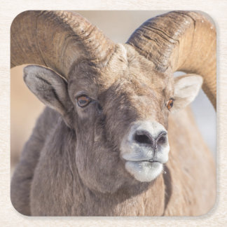 USA, Wyoming, National Elk Refuge, Bighorn Sheep Square Paper Coaster