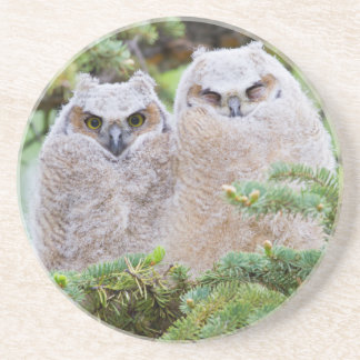 USA, Wyoming, two fledged Great Horned Owl Coaster