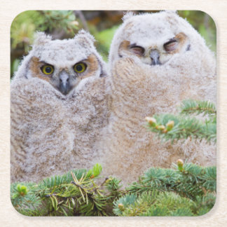 USA, Wyoming, two fledged Great Horned Owl Square Paper Coaster