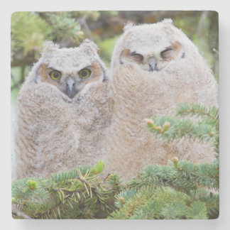 USA, Wyoming, two fledged Great Horned Owl Stone Coaster