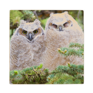 USA, Wyoming, two fledged Great Horned Owl Wood Coaster