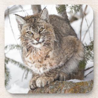 USA, Wyoming, Yellowstone National Park, Bobcat 1 Coaster