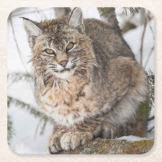 USA, Wyoming, Yellowstone National Park, Bobcat 1 Square Paper Coaster