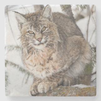 USA, Wyoming, Yellowstone National Park, Bobcat 1 Stone Coaster