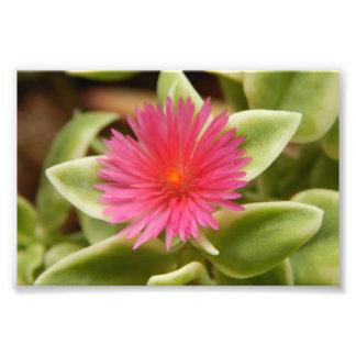 Variegated Succulent Flower Photo Art