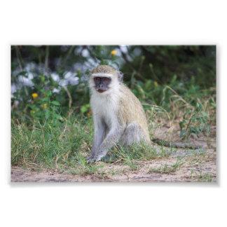 Vervet Monkey, Botswana, Africa, Photo Print
