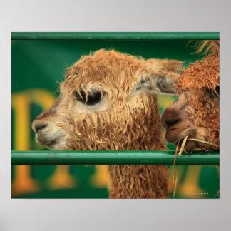 very cute lamas both looking at something off poster