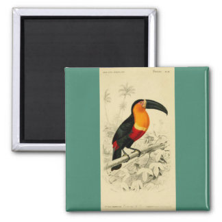 Vibrant 1849 image of a Toucan Square Magnet
