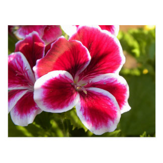 Vibrant pink geraniums postcard