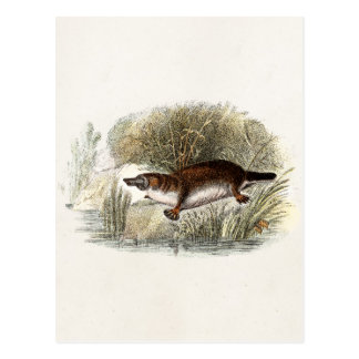 Vintage 1800s Duck Bill Platypus Illustration Postcard