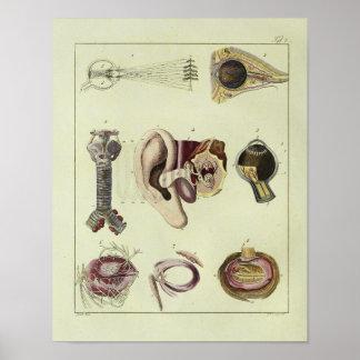 Vintage 1820 Eye Ear Anatomy Art Print