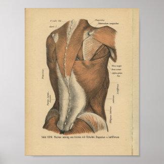 Vintage 1888 German Anatomy Print Back Muscles