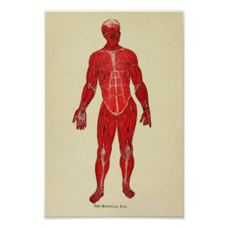Vintage 1920 Muscle Anatomy Art Print