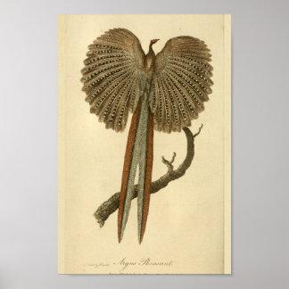 Vintage Argus Pheasant Natural History Print Bird