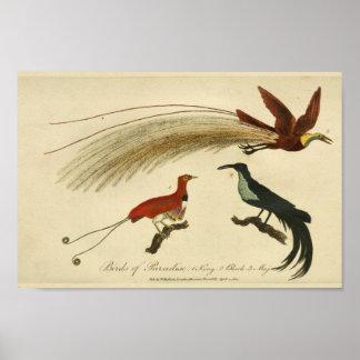 Vintage Birds of Paradise Natural History Print