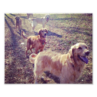 Vintage golden retriever dogs lined up photo print