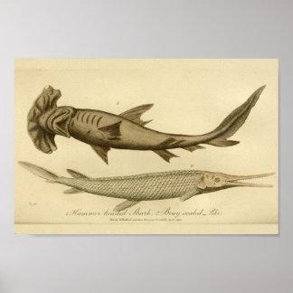 Vintage Hammer Head Shark Natural History Print