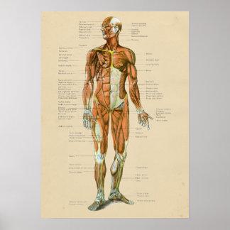 Vintage Human Muscle Anatomy Chart Anterior