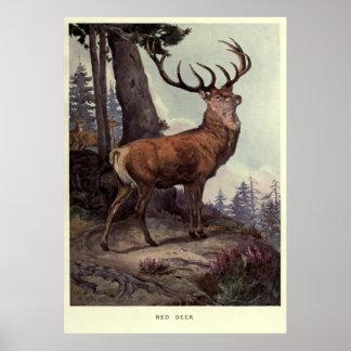 Vintage Red Deer Painting (1909) Poster