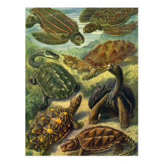 Vintage Sea Turtles and Tortoises by Ernst Haeckel Postcard