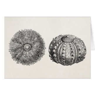 Vintage Spiny Sea Urchin Antique Template Note Card